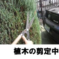 植木の剪定中
